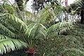 Cycas circinalis 41zz.jpg