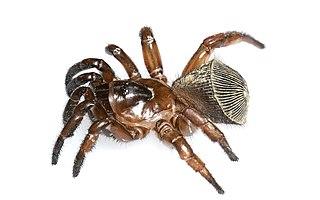 <i>Cyclocosmia</i> Genus of spiders