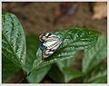 Cyclosia papilionaris - female.jpg