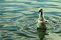 Cygnet stretch - Stanborough Lakes (17638905489).jpg