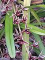 Cymbidium aloifolium.jpg