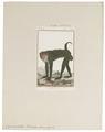 Cynocephalus porcarius - 1798-1803 - Print - Iconographia Zoologica - Special Collections University of Amsterdam - UBA01 IZ20100057.tif