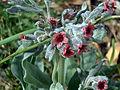 Cynoglossum cheirifolium flowersCloseup SolanadelPino.jpg
