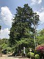 "Cypress trees """"Meoto-Hinoki"" in Takeo Shrine.jpg"