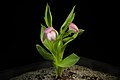 Cypripedium macranthos '-1905 Kawai' Sw., Kongl. Vetensk. Acad. Nya Handl. 21 251 (1800) (47825522352).jpg