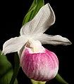 Cypripedium reginae '-190401' Walter, Fl. Carol. 222 (1788) (48036513113) (cropped).jpg