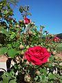 Czerwone róże(1).jpg