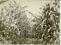 D. Peters In Corn Field In Waldheim (6169569846).jpg