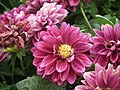 Dahlia from Lalbagh Flower Show August 2012 4621.JPG