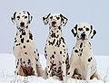 Dalmatiner schw braun.jpg