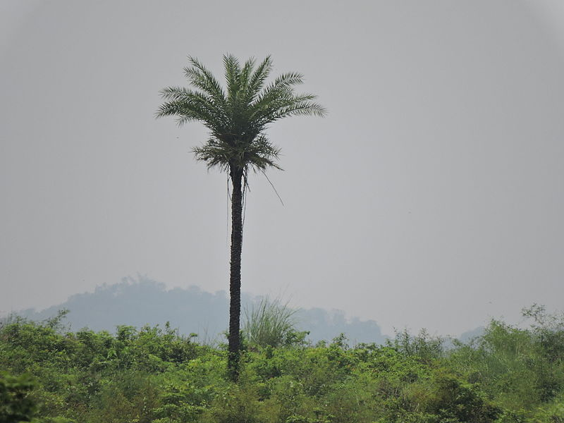 Date Palm,.JPG