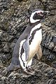 Day trip from Puerto Varas to Isla Grande de Chiloe - a visit and boat trip to Pinguinera Isloto de Punihuil on the open Ocean - mostly Magellanic Penguins (Spheniscus magellanicus) - (24889614060).jpg