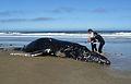 Dead Humpback Whale (Megaptera novaeangliae) - June 28, 2014.jpg