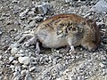 Dead mouse on the Pilgrim's Way - geograph.org.uk - 141421.jpg
