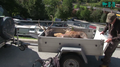 Dead red stag on trailer Switzerland.png