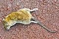 Deceased brown rat (Rattus norvegicus).jpg
