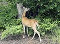 Deer-Eating.jpg