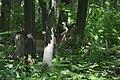 Deer watching.jpg