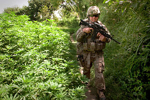 Cannabis in Afghanistan - An American soldier patrols past cannabis plants in Kandahar, 2011