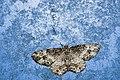 Deileptenia rimosaria (44693919324).jpg