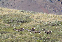 Denali National Park Caribou Herd 1249px.jpg
