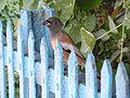 Dendrocitta vagabunda fence 1.jpg