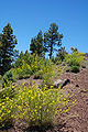 Descurainia gilva habitat.jpg