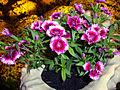 Dianthus chinensis (2).JPG