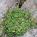 Diapensia lapponica (leaf s5).jpg