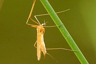 <i>Dicranomyia</i> genus of insects