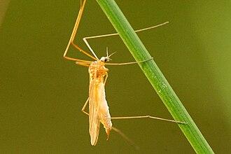 Dicranomyia - Dicranomyia modesta