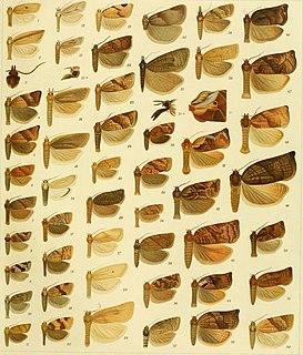 <i>Neocalyptis</i> Genus of tortrix moths