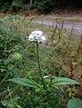 Dipsacus pilosus inflorescence (32).jpg