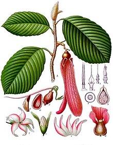 Dipterocarpus retusus - Köhler – s Medizinal-Pflanzen-054.jpg