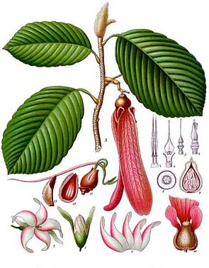 Dipterocarpus retusus, Illustration