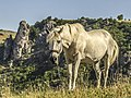 Divlji konj ,Uvac 01.jpg