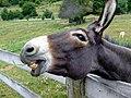 Donkey (1246936).jpg