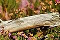 Dragonfly - Brownsea Island (29249593034).jpg