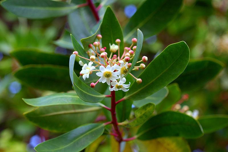 feuilles et fleurs de la cannelle de Magellan