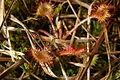 Drosera rotundifolia PID1314-2.jpg