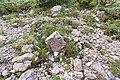 Dryas octopetala on solifluction leg P. Cikovac Mt Orjen Montenegro.jpg