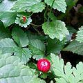 Duchesnea indica immature fruit.jpg