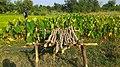 Dugariya, Madhya Pradesh 471101, India - panoramio (60).jpg