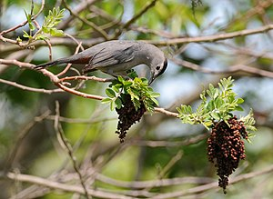 A Gray Catbird in Sandy Hook, New Jersey, USA.