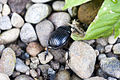 Dung beetle (207410504).jpg