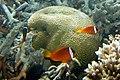 Dusky anemonefish Amphiprion melanopus (7663521478).jpg
