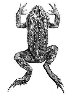 240px duttaphrynus microtympanum