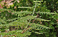 Dwarf Poinciana (Caesalpinia pulcherrima)- var flava leaves at Hyderabad, AP W 234.jpg