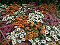 Dwarf Zinnia from Lalbagh flower show Aug 2013 8232.JPG