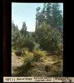 ETH-BIB-Nahuel Huapi, Peninsula Huemul, Cypressen-Wald-Dia 247-11281.tif